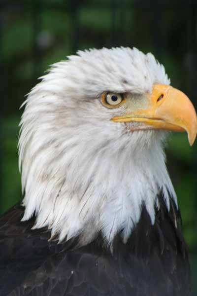 Image of a Bald Eagle
